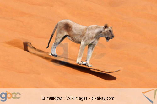 Löwe Sandsurfen